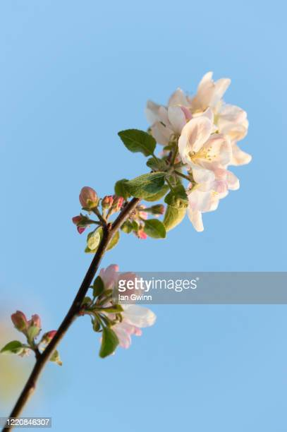 apple blossoms_1 - ian gwinn stock pictures, royalty-free photos & images