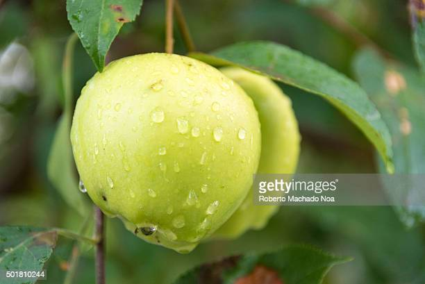Apple cultivation in Canada Fresh green apple with water droplets hanging on a branch in an Orchard in Toronto Canada Fruit growing is an important...