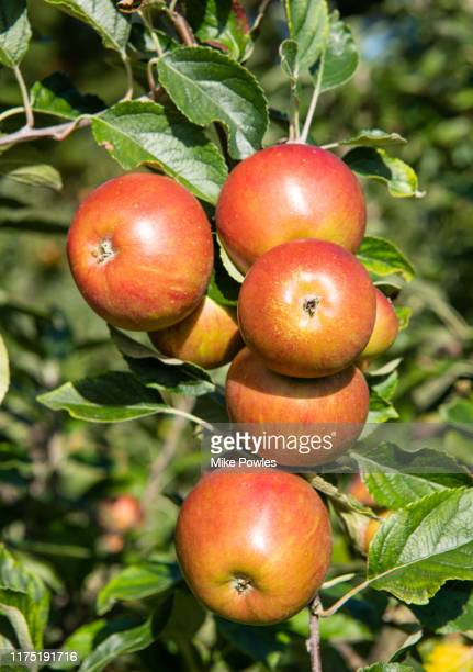 apple darcy spice fruit on tree. norfolk. uk - apple fruit stock pictures, royalty-free photos & images