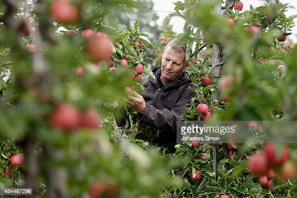 Apple farmer Andreas Willhalm looks at apples ahead of the annual harvest season on the Obstbau Willhalm farm near Bodensee Lake on September 1 2014...