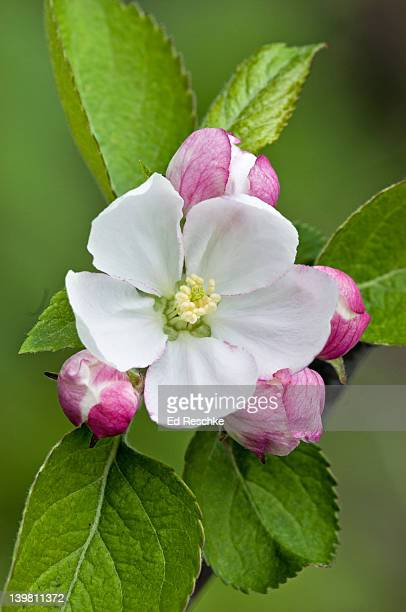 Apple Flower and Buds, Malus x domestica, Michigan, USA. Large hybrid group, hundreds of cultivars.