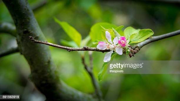 apple flower - lifeispixels stock pictures, royalty-free photos & images