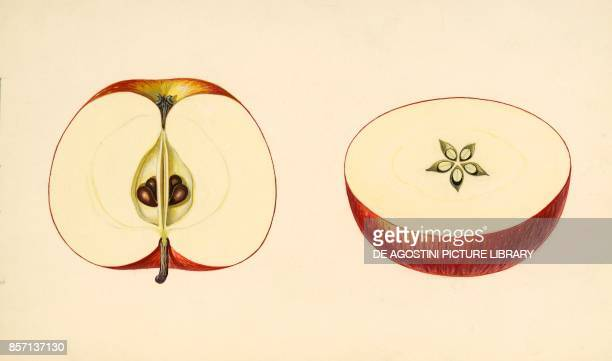 Apple fruit and seeds section drawing