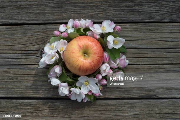 apple 'gala royal' surrounded by apple blossoms on wood - royal gala apple stock photos and pictures