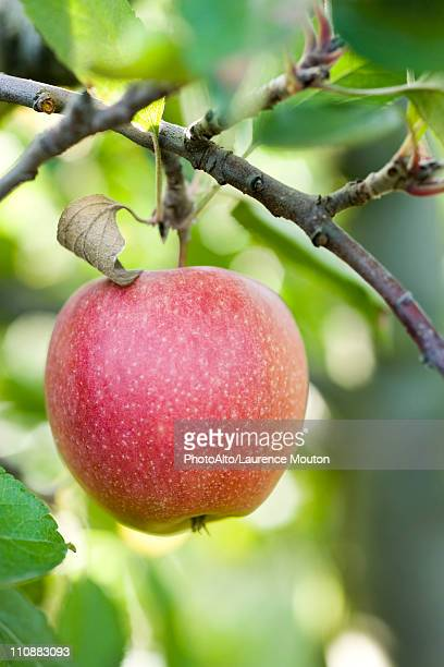 Apple growing on branch