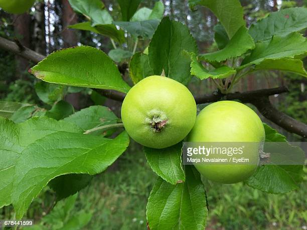 apple growing on tree - unripe stock pictures, royalty-free photos & images