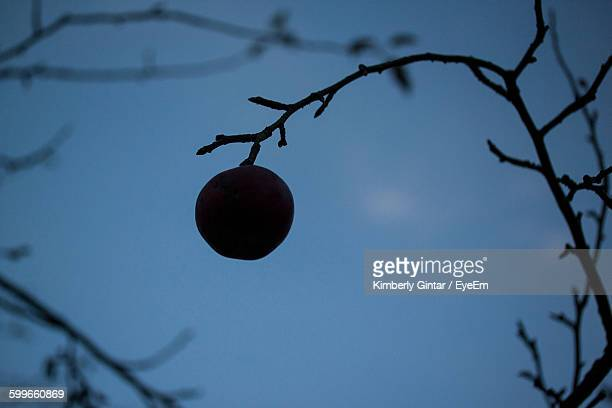 Apple Hanging From Branch