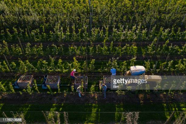 apple harvest, aerial view - apple fruit stock pictures, royalty-free photos & images