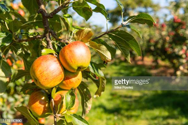 apple laxton fruit on tree. norfolk.uk - fruit tree stock pictures, royalty-free photos & images