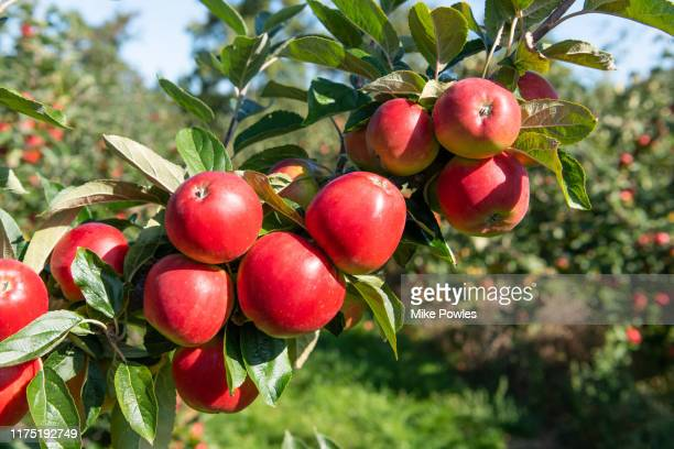 apple norfolk royal. norfolk. uk - appelboom stockfoto's en -beelden