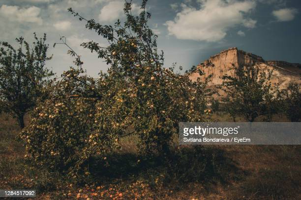 apple orchard and belaya skala in crimea - apple tree stock pictures, royalty-free photos & images