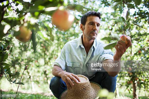 apple orchard and harvesting. - orchard stockfoto's en -beelden