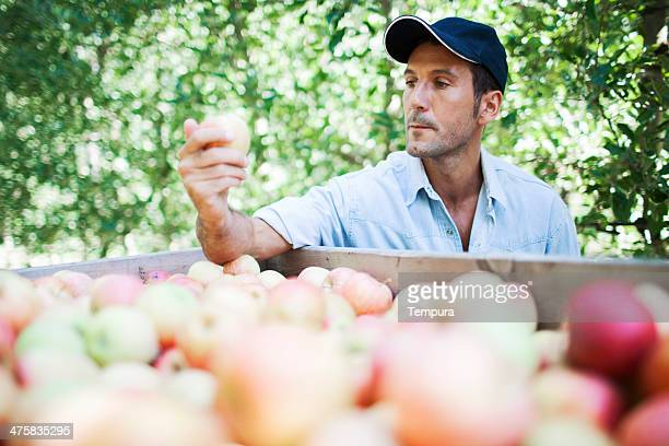 Apple orchard and harvesting.