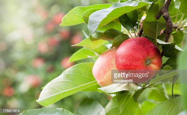 apple orchard at harvest time - appelboom stockfoto's en -beelden