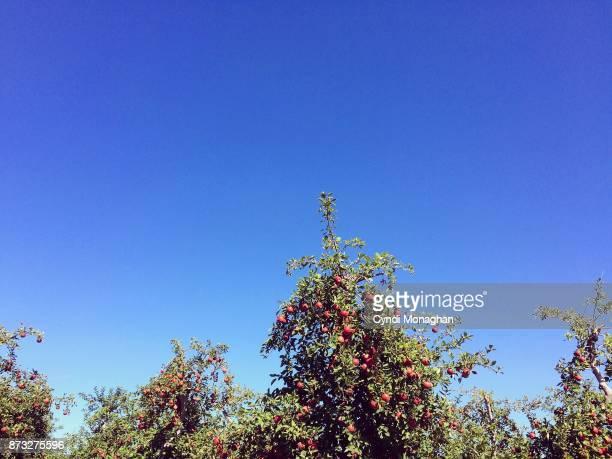 Apple Orchard Beneath a Blue Sky