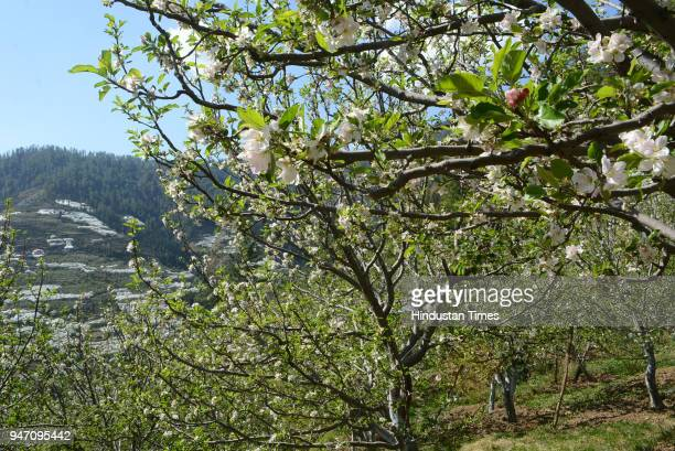 Apple orchard in full bloom during the month of April and the beginning of summers at Kotkhai on April 16 2018 in Shimla India The rain and hail...