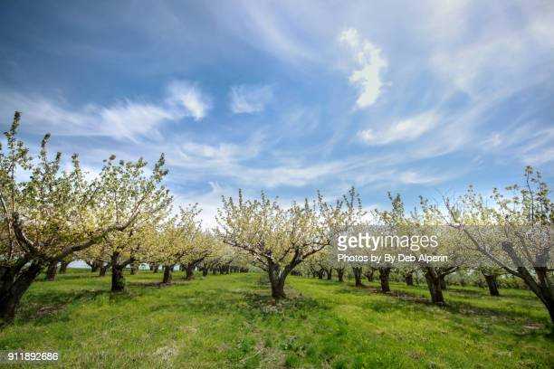 Apple Orchard in Full Bloom
