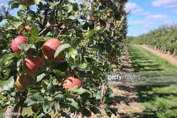 Apple orchard in Milton, Ontario, Canada, on September 20, 2020.