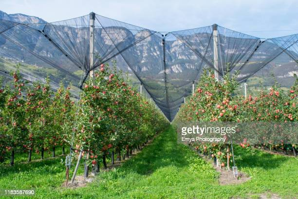 apple orchard in south tyrol, italy - juteux photos et images de collection