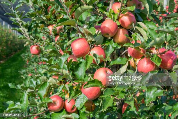 apple orchard in south tyrol, italy - gala stock pictures, royalty-free photos & images