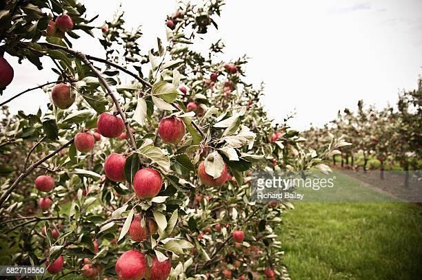 Apple Orchard, North Somerset