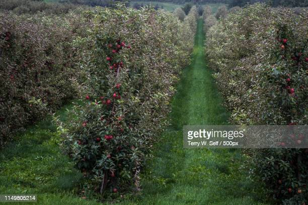 apple orchard - fruit tree stock pictures, royalty-free photos & images