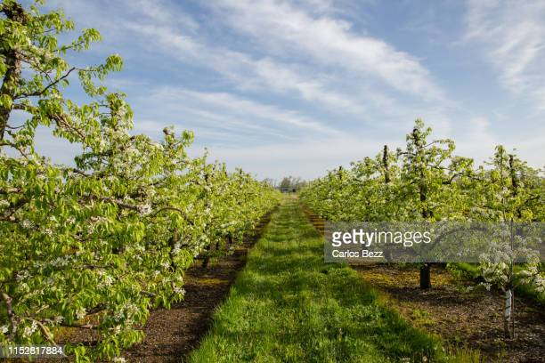 apple orchard - apple blossom tree stock pictures, royalty-free photos & images