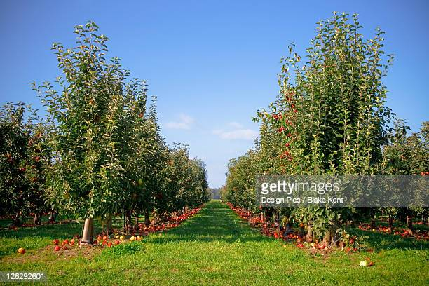apple orchard - kent washington state stock pictures, royalty-free photos & images