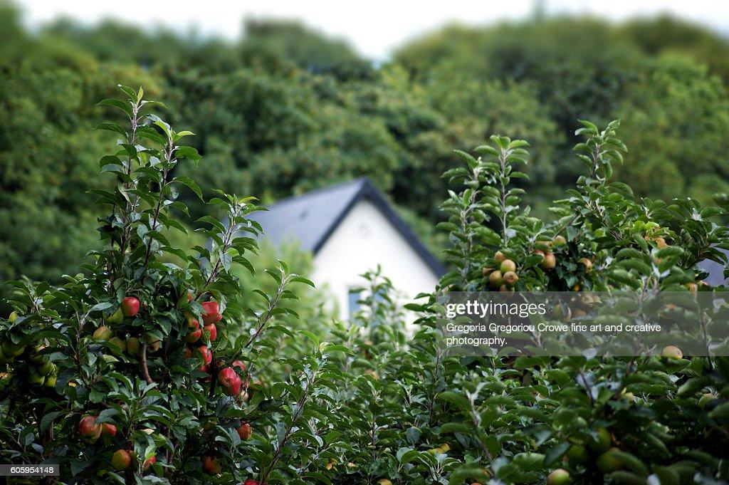 Apple Orchard : Stock Photo