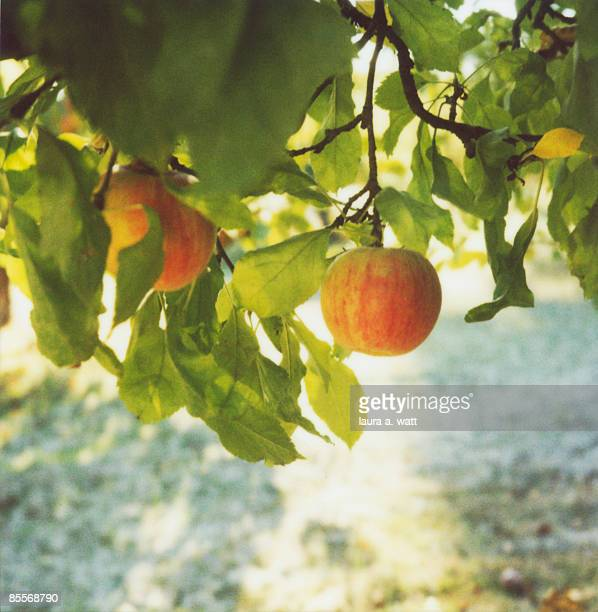 apple orchard - appelboom stockfoto's en -beelden
