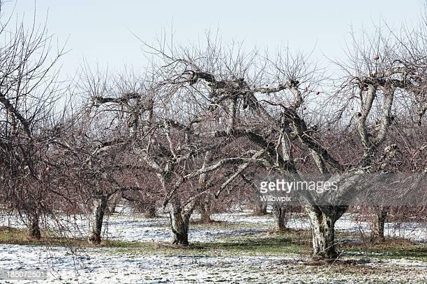 Manzanar árboles de invierno