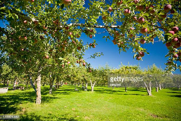 apple orchards - orchard stockfoto's en -beelden