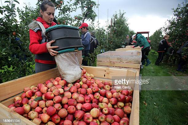 Apple pickers gather Gala apples in an orchard at Stocks Farm in Suckley near Worcester on October 8 2013 in Worcestershire England According to...