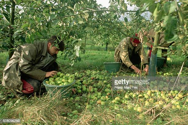 Apple Pickers in Normandy, France