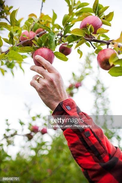 apple picking - vanessa lassin stock-fotos und bilder