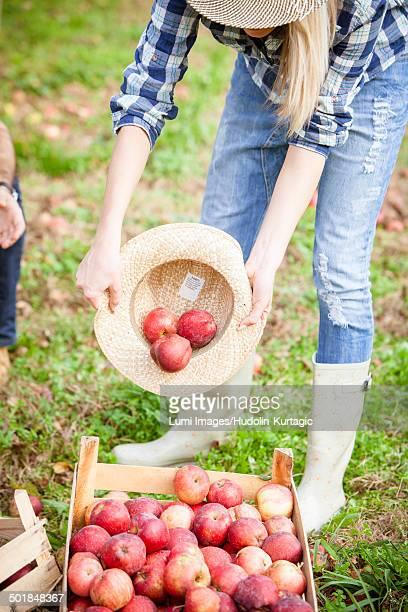 Apple Picking Season, Croatia, Europe