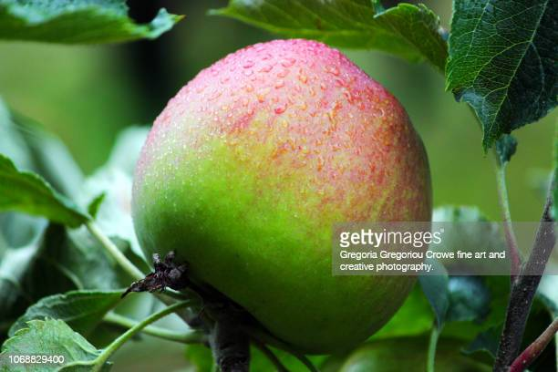 apple - gregoria gregoriou crowe fine art and creative photography. stock-fotos und bilder