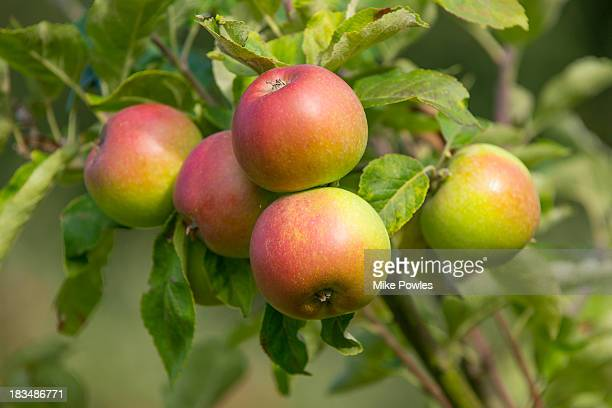 Apple 'Red Windsor, ripe fruit, Norfolk UK