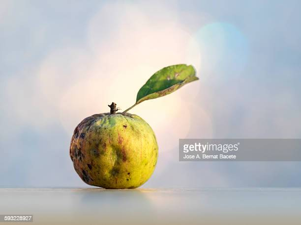 Apple rotted in condition of decomposition