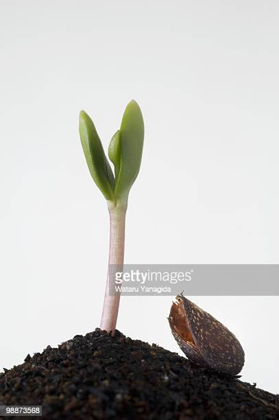 Apple seedling and seed shell