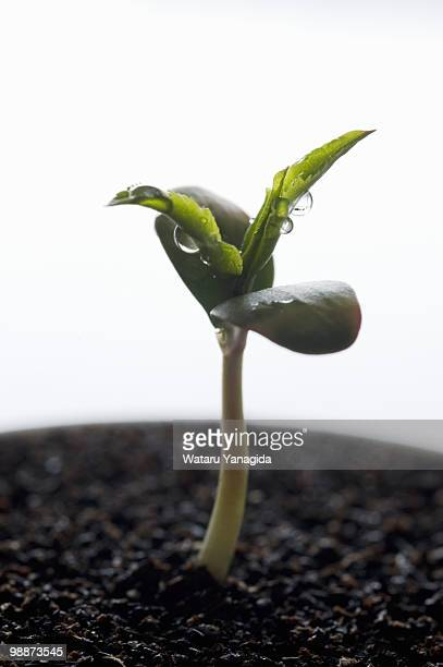 Apple seedling with dew