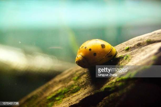 apple snail - freshwater stock pictures, royalty-free photos & images