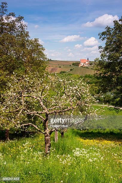 Apple tree and Maria im Weingarten church