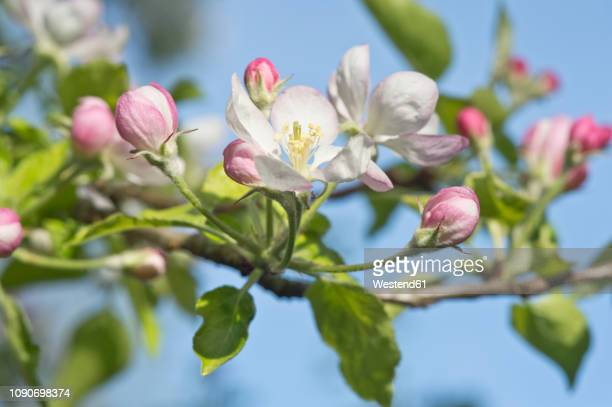 apple tree, apple blossoms - apple blossom tree stock pictures, royalty-free photos & images