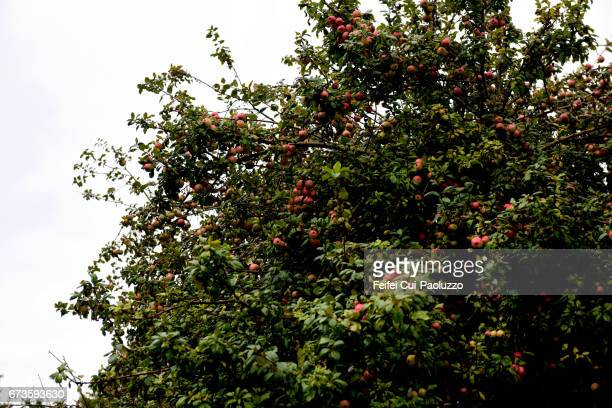 Apple tree at Matao of Chiloe Island, Southern Chile