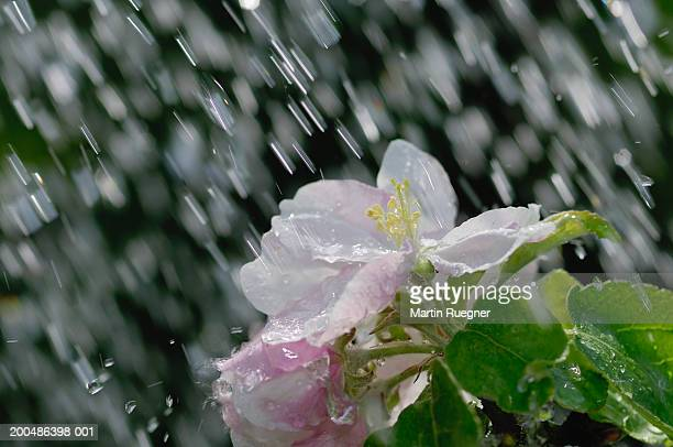 Apple tree blossom in rain
