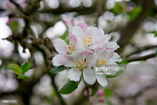 Apple tree blossoms in Calvados orchard