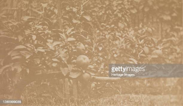 [Apple Tree Branch], circa 1856. Artist Unknown.