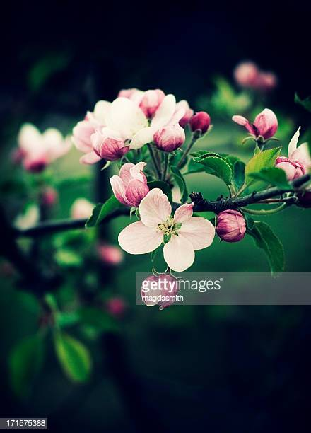 apple tree branch with blosoms - magdasmith stock pictures, royalty-free photos & images