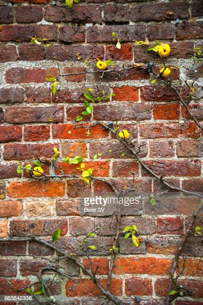Apple tree clinging to the old brick wall